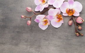 Wallpaper Orchid, pink, flowers, orchid