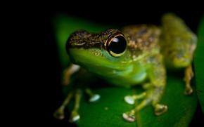 Picture animals, eyes, macro, frog, black background, green, amphibians, amphibians