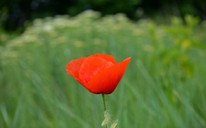 Picture Spring, Mac, Spring, Poppy, Red poppy, Red poppy