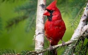 Picture bird, branch, bokeh, cardinal