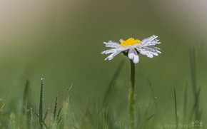 Picture grass, drops, macro, Rosa, Daisy, meadow