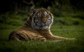 Wallpaper grass, tiger, power