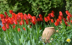 Picture Spring, Tulips, Spring, Pitcher, Red tulips