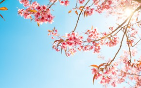 Picture the sky, branches, spring, Sakura, flowering, pink, blossom, sakura, cherry, spring, bloom