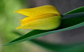Picture yellow, Tulip, Bud