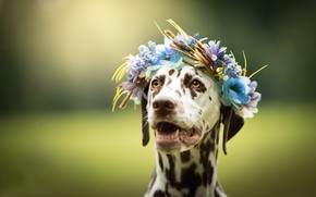Picture face, flowers, background, dog, wreath