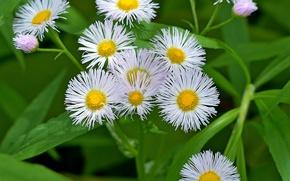 Picture Flowers, White flowers, White flowers