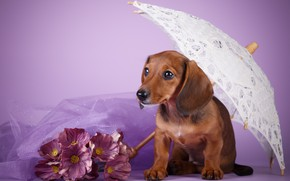 Picture flowers, umbrella, puppy, Dachshund, lilac background