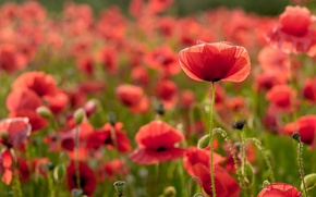 Picture field, summer, flowers, Maki