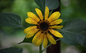 Picture Drops, Drops, Yellow flower, Yellow flower