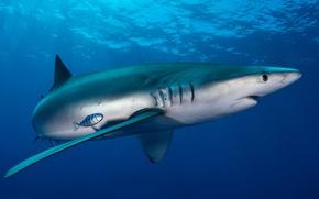 Picture sea, animals, water, light, fish, the ocean, fish, fish, shark, depth, large, huge, underwater world, …