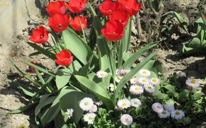 Picture flowers, tulips, flowerbed, Daisy, April, spring 2018, Mamala ©
