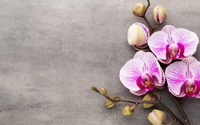 Picture Orchid, pink, flowers, orchid