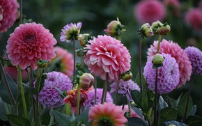 Picture petals, buds, flowering, Dahlia