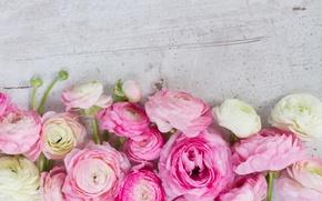 Wallpaper pink, pink flowers, flowers, beautiful, buttercups, ranunculus