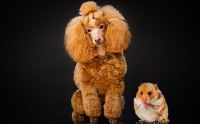 Picture portrait, dog, hamster, black background, rodent, Poodle