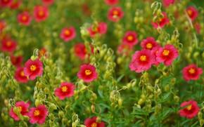Picture Helianthemum, Sunflower, Ninik, macro, bokeh
