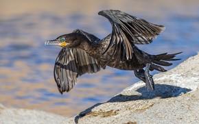 Picture bird, wings, beak, start, cormorant