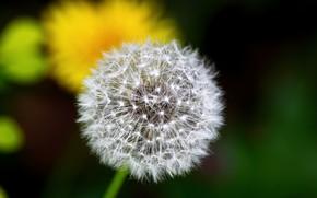 Picture dandelion, fluffy, blurred background