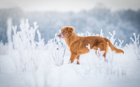 Picture winter, frost, field, grass, snow, nature, dog, red, the snow, puppy, profile, walk, light background, …