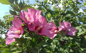 Picture summer, leaves, flowers, Hibiscus syriacus