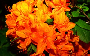 Picture leaves, flowers, nature, background, bright, branch, orange, inflorescence, fire, Azalea, rhododendrons