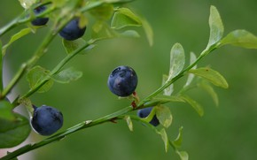Picture forest, summer, macro, nature, berries, photo, beauty, plants, blueberries, Russia, flora