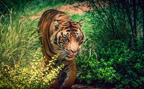 Picture greens, grass, the sun, tiger, predator, striped, the bushes, bokeh, sneaks