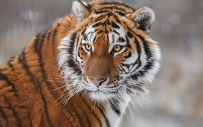 Wallpaper wild cat, face, The Amur tiger, tiger, look, portrait