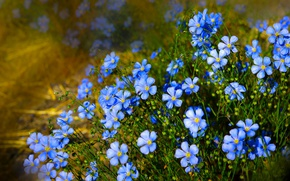 Picture nature, len, blue flowers