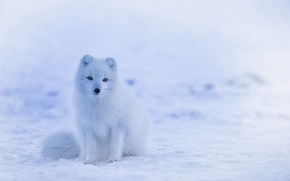 Picture cold, winter, white, Fox, white, sitting, fox, waiting for, winter, cold, sitting, waiting, Fox, Polar …