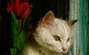 Picture cat, white, flower, cat, look, glass, face, drops, red, the dark background, rain, mood, Tulip, …