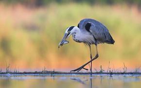 Picture water, bird, fish, Heron, catch