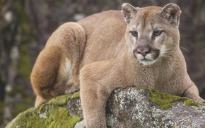 Picture look, stone, observation, Puma