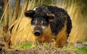 Picture grass, face, nature, pig, boar, curls, hog, Piglet, curly