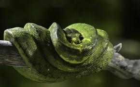 Picture animals, snake, Python, exotic, fauna, terrarium, reptiles