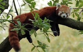 Picture muzzle, Red Panda, Red Panda