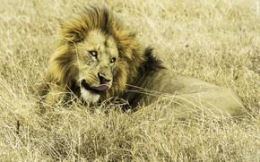 Wallpaper nature, Leo, Africa