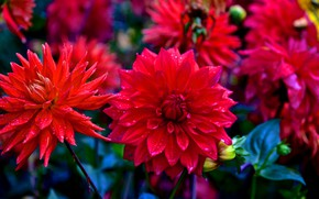 Picture red, petals, buds, flowering, Dahlia