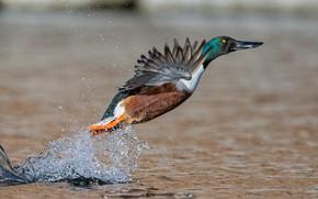 Picture water, squirt, bird, wings, shoveler duck