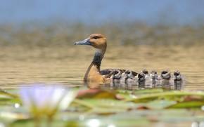 Picture flowers, children, lake, mom, Ducks