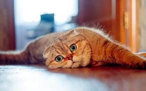 Picture cat, look, muzzle, Scottish fold cat