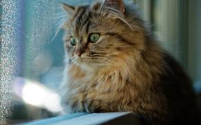 Wallpaper cat, window, look, cat