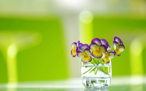 Picture glass, background, a bunch, Pansy, Viola tricolor