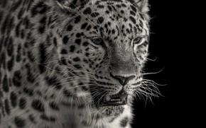 Picture face, predator, leopard
