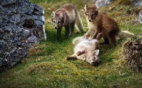 Picture grass, mountains, the game, group, foxes