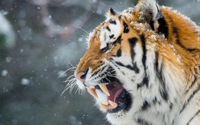 Picture winter, face, tiger, teeth, mouth, grin