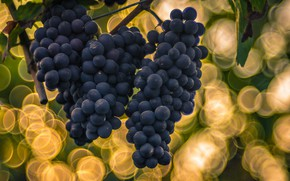 Picture background, grapes, bokeh