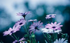 Picture flowers, petals, a lot, Osteospermum