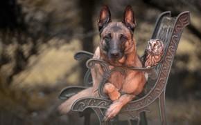 Picture animals, bench, Park, background, owl, bird, portrait, dog, shop, friendship, friends, Belgian shepherd